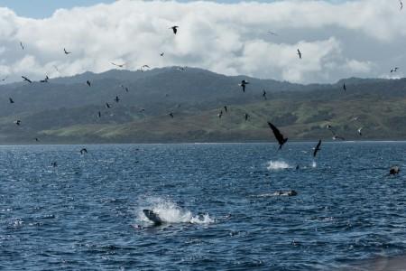 Yellowfin Tuna jumping