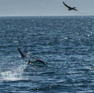 Yellowfin tuna leaping through the air