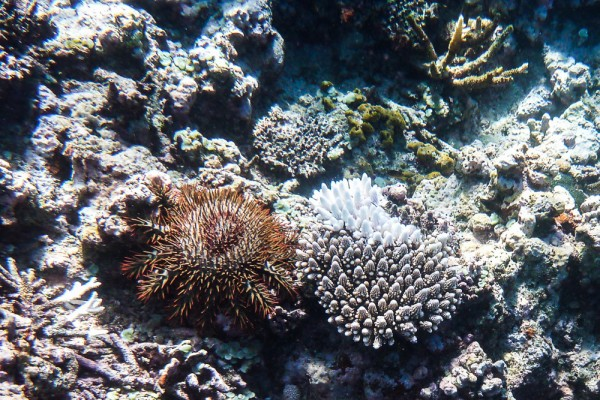 The Crown of Thorns starfish. The name is well deserved!