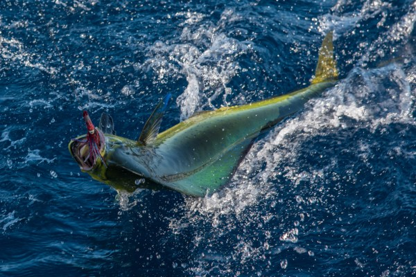 Another doomed mahimahi