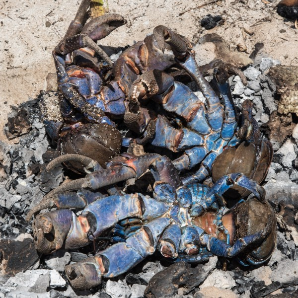 Coconut crab in the fire pit