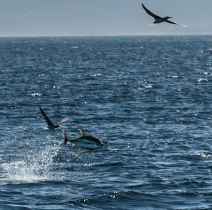 Yellowfin tuna leaping through the air
