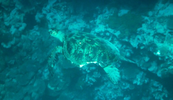 A large turtle who had seen a battle in his day
