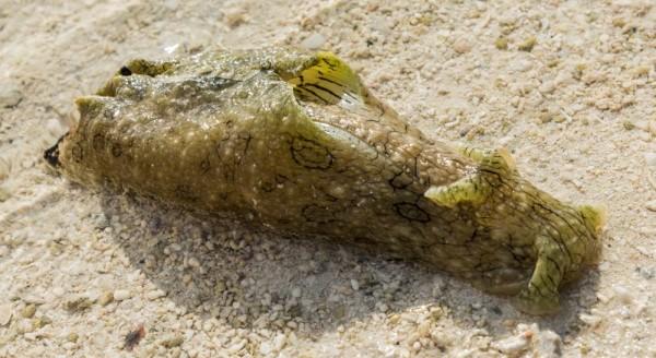 Nudibranch, a soft seagoing slug