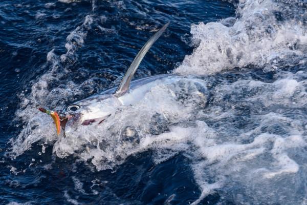 An unlucky Big Eye Tuna