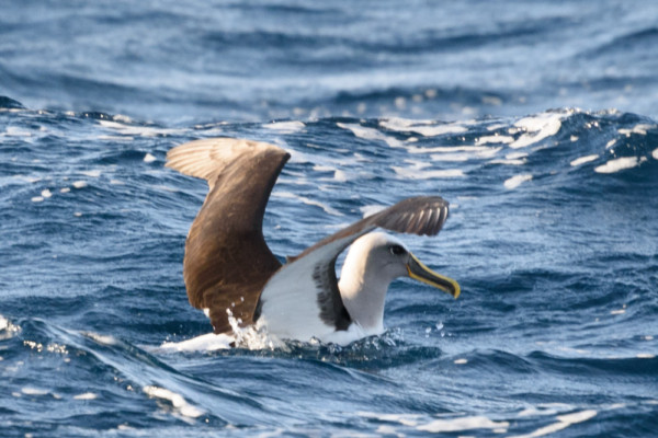 Albatross resting in our wake
