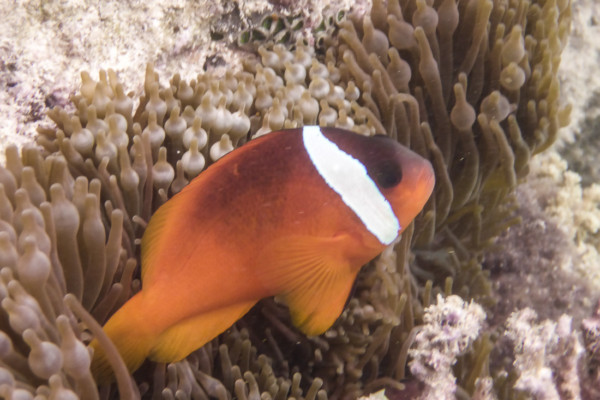 Cinnamon Clownfish in Bubble-tip Anemone